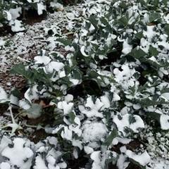 Danni agricoltura pugliese