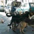 Branco di cani randagi