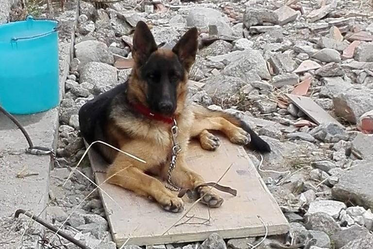 Smarrita Sacha, cucciola di pastore tedesco
