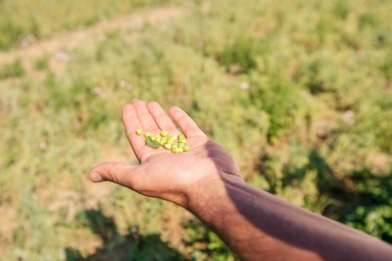 Andriani- coltivazione di piselli