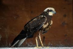 Torna a volare il falco ferito dai bracconieri
