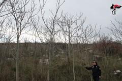 Parco dell'Alta Murgia, eliminata infestazione dalla pianta ailanto