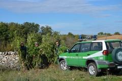 Forestale scopre piantagione di cannabis