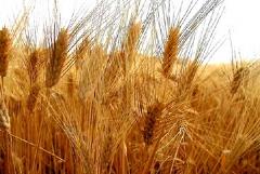 Progettualità nel settore cerealicolo: bene Gravina