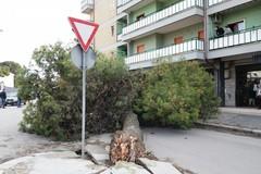 Cade un albero in via Spinazzola. Ferito un automobilista.