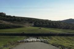 In aperta campagna, pecore al pascolo tra i rifiuti