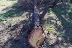 Ancora tagli abusivi di legna nel Bosco Difesa Grande