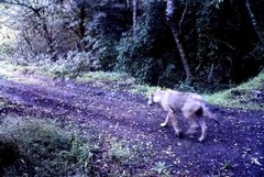Ente Parco, progetto di monitoraggio dei carnivori selvatici