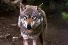Fauna selvatica: serio problema in Puglia e la politica tace