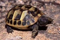 Tartaruga di terra detenuta illegalmente