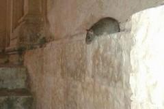 Topi nel centro storico, scatta l'allarme