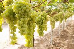 Stea (AP): marchio IGP per l'uva Pizzutello
