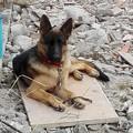 Alla ricerca di Sacha, cucciola di pastore tedesco