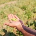 Andriani capofila di un'estesa filiera sostenibile di legumi