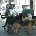 Branchi di cani randagi per le vie di Gravina