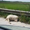 Carcassa di capra abbandonata sul ciglio della strada