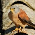 La nidificazione del falco grillaio