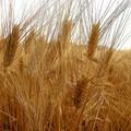 Aumentano le importazioni di grano canadese