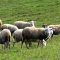 In arrivo... le pecore antincendio