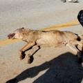 Trovata carcassa di lupo, animale ucciso per bracconaggio