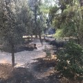 Incendio della pinetina in via Matera