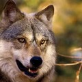 Attenti al lupo…