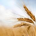 La filiera del grano duro in sofferenza