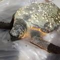 Salvata una tartaruga