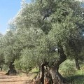 Olive come diamanti
