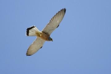 falco grillaio 1