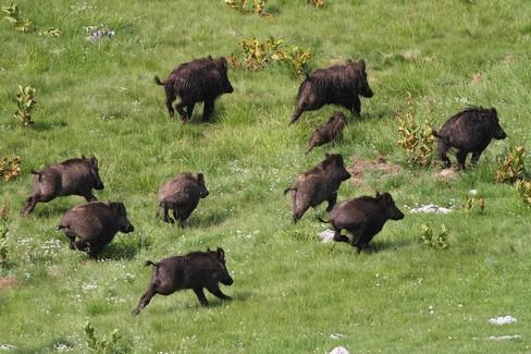 Cinghiali: un piano in cinque azioni del Parco dell'Alta Murgia