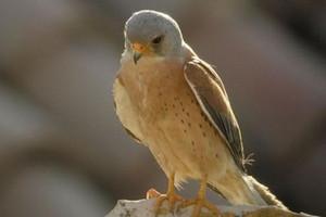 Falco grillaio