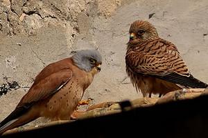 falco grillaio coppia