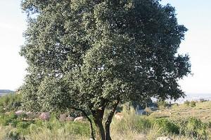 albero leccio