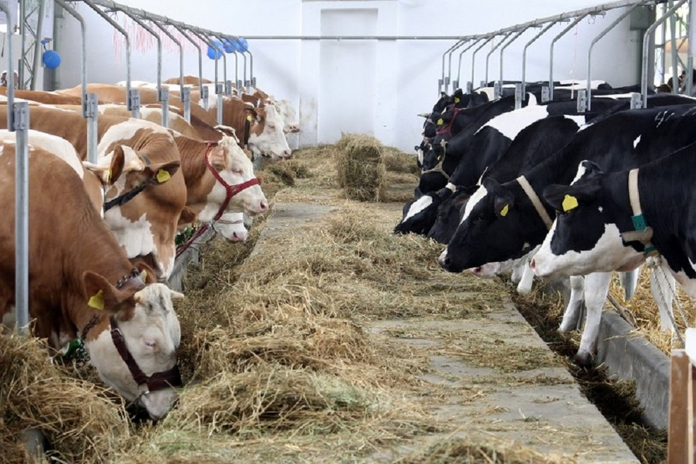 mucche di allevamento